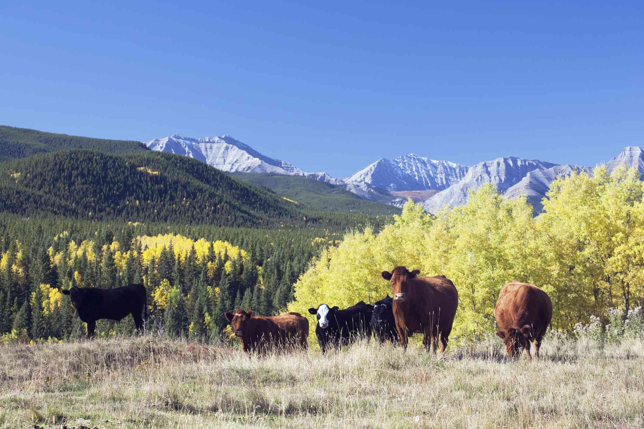 small herd of cows in front of mountains in Turner Valley