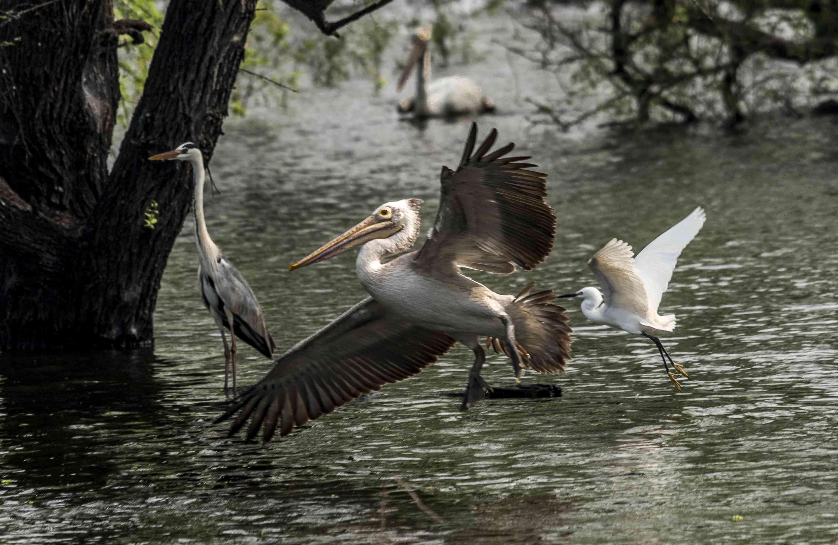 Vedanthangal is a bird sanctuary near Chennai. A spot billed pelican, open bill stork and an egret