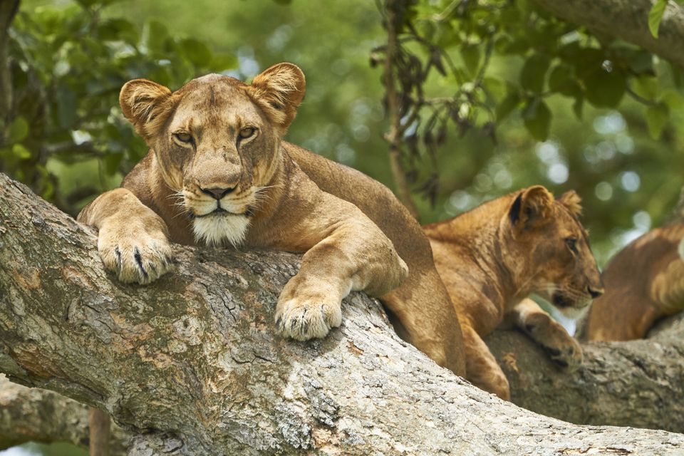 Tree-climbing lions in Queen Elizabeth National Park, Uganda