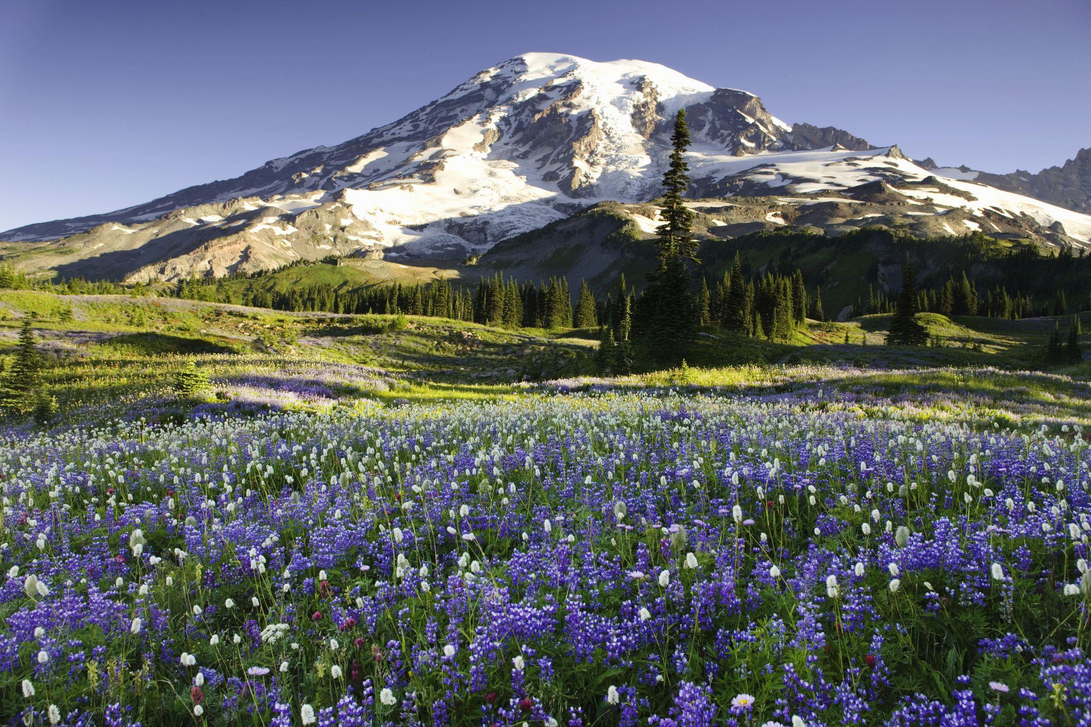 USA, Washington, Mt. Rainier National Park, field with wildflowers