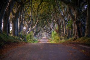 Dark hedges beech trees in Antrim