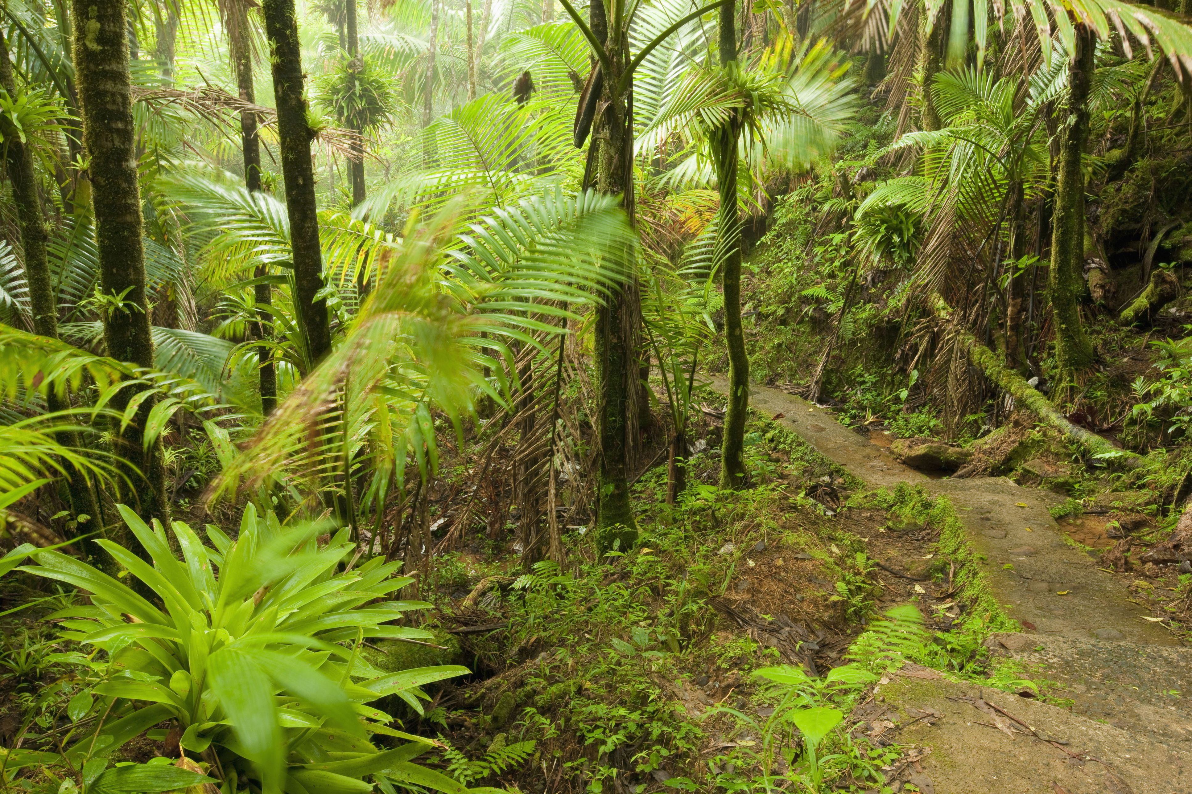 Mt. Britton Lookout trail, El Yunque National Forest, Puerto Rico