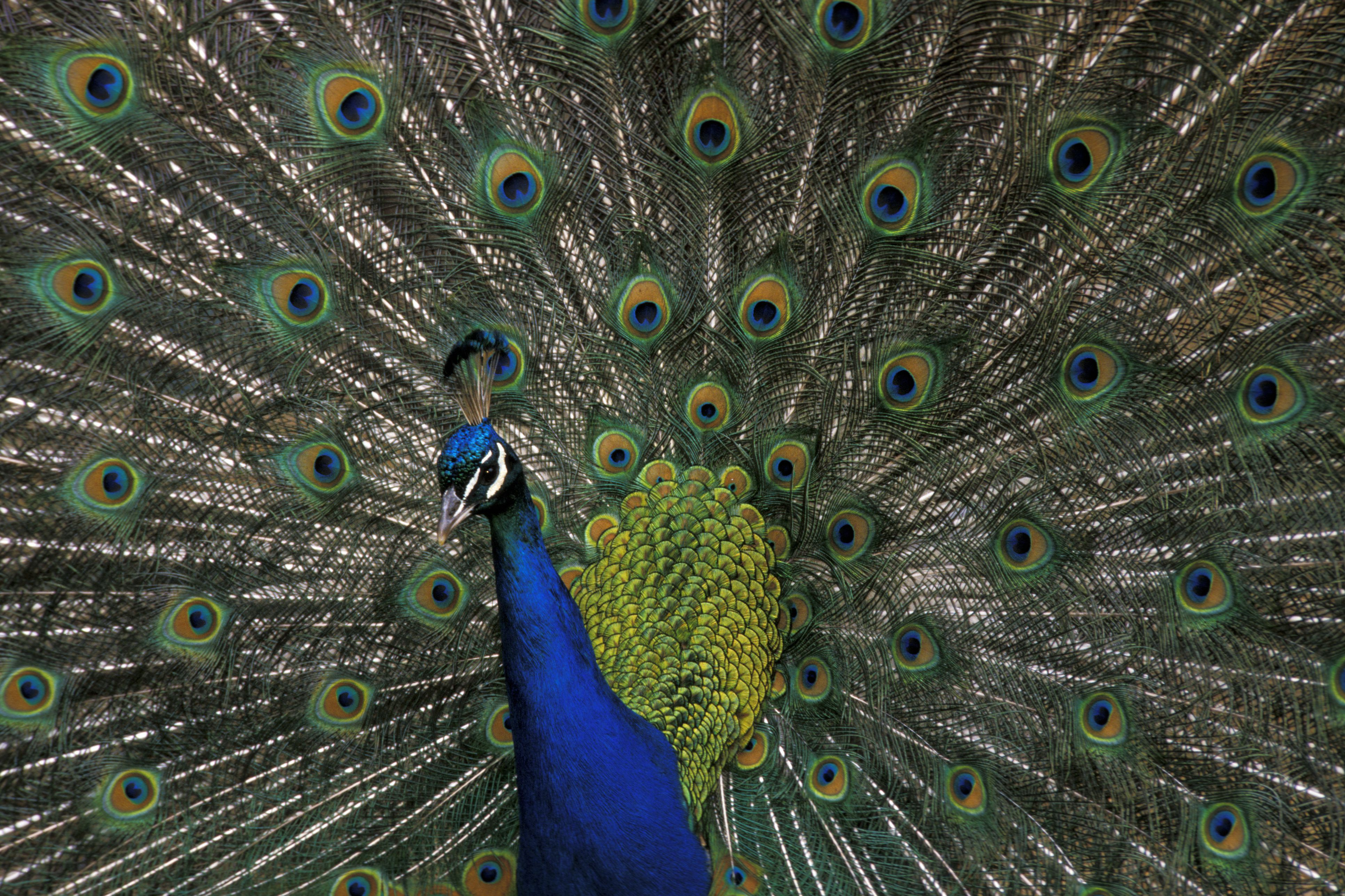 Male peacock displaying plumage at Olympic Game Farm.
