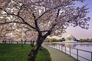 Washington DC cherry trees