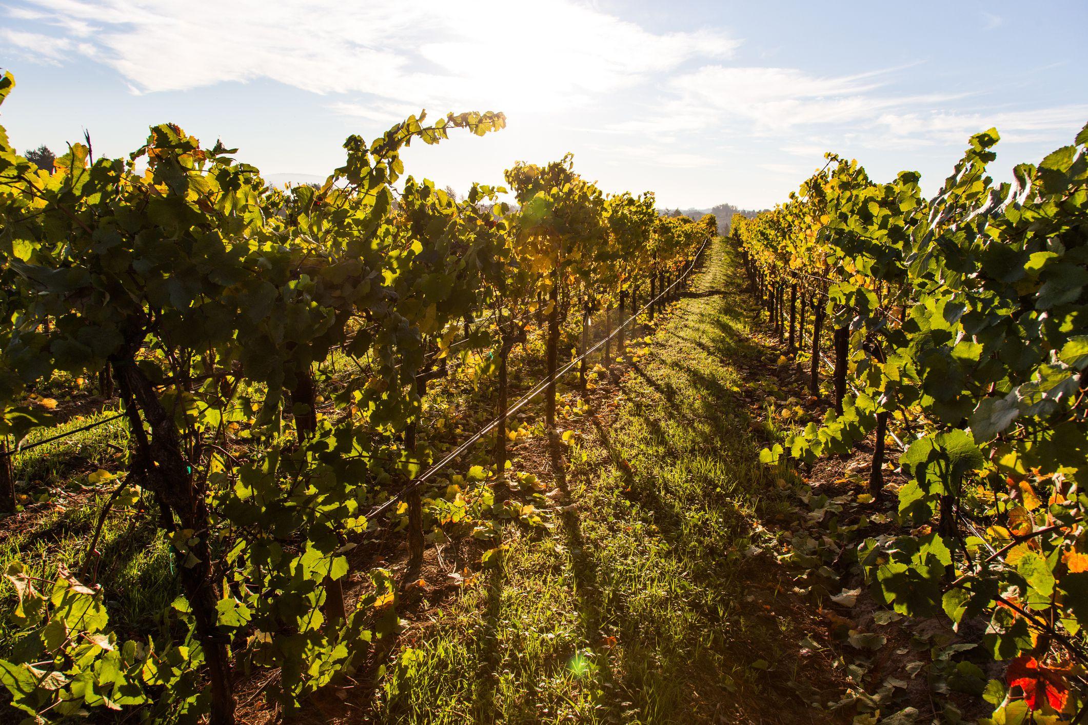 Grape vineyards in Sonoma County (Santa Rosa), California.