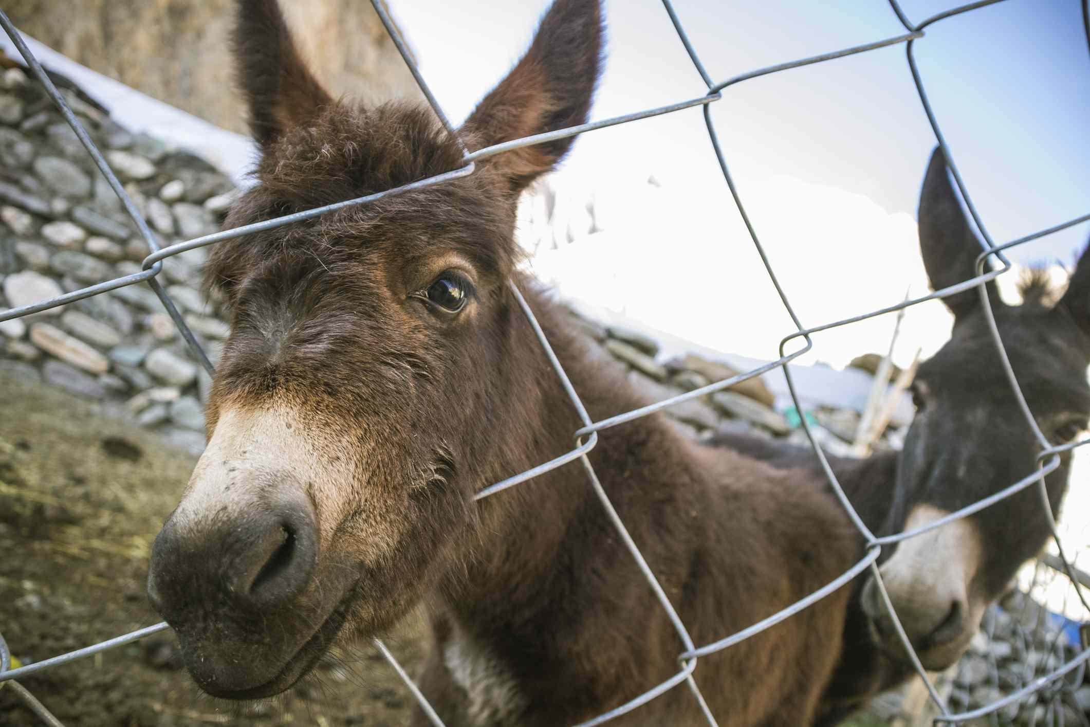 Donkeys in Ladakh.