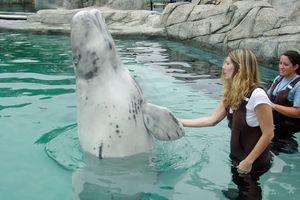 Beluga Whale High Five