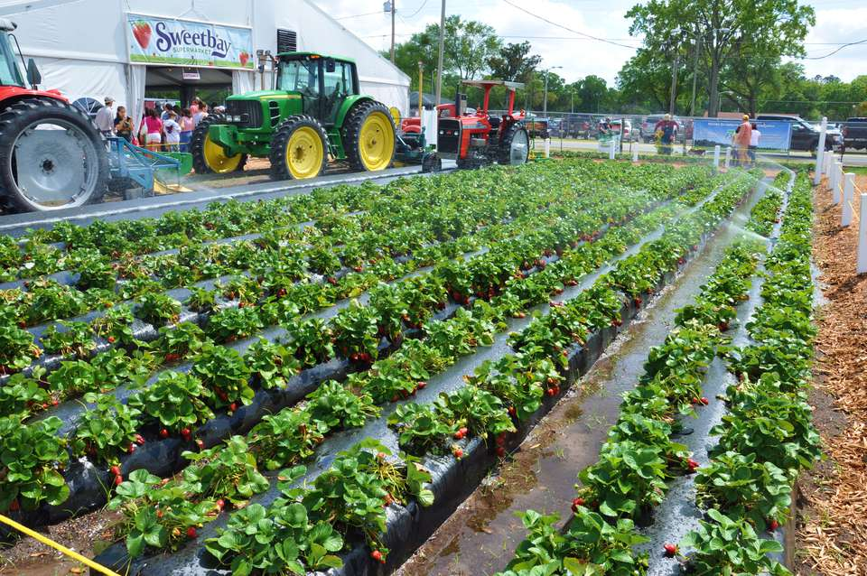 Strawberry plants and tractors at the Plant City, Florida Strawberry Festival