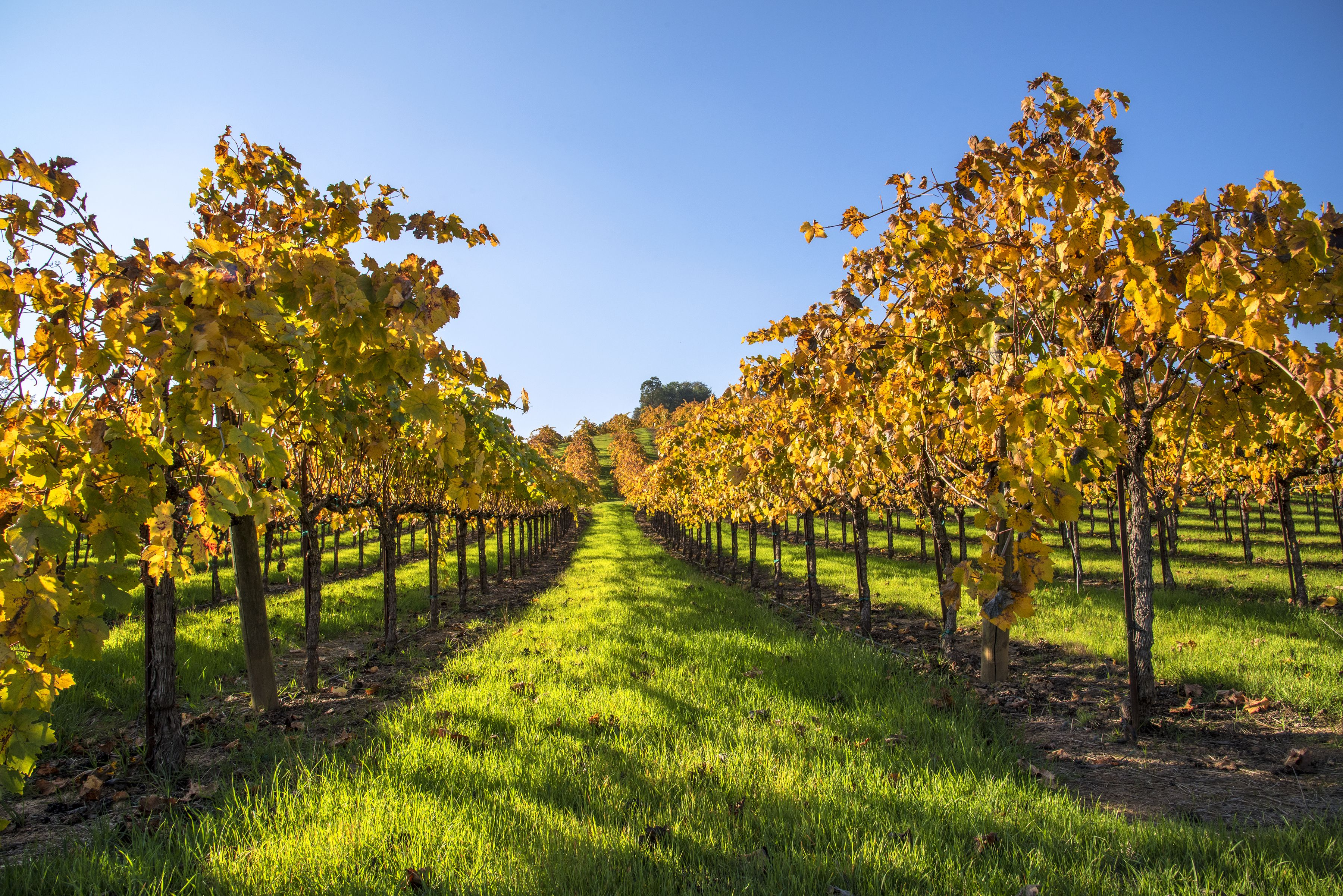 Sonoma valley vineyard in fall