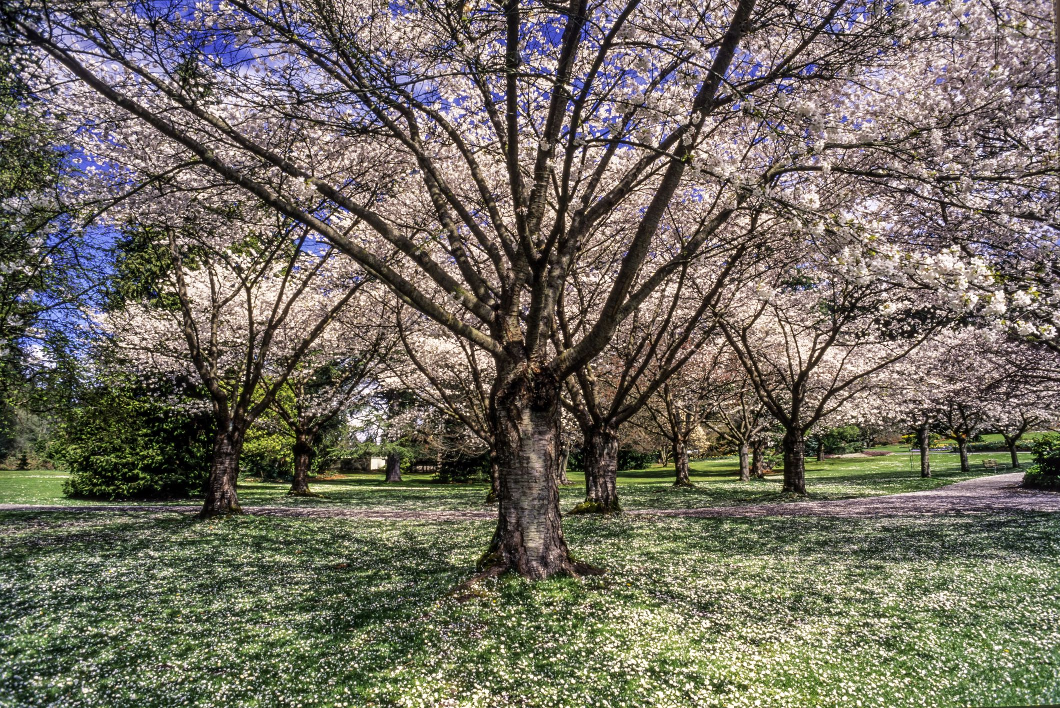 Cerezo en flor, Stanley Park, Vancouver, Columbia Británica, Canadá
