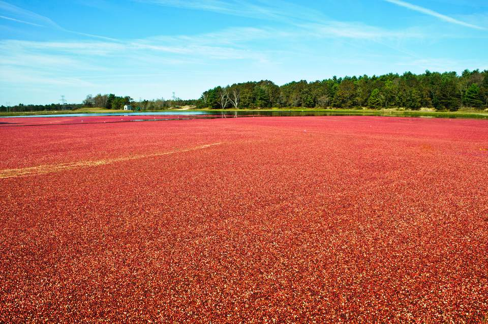 Cranberry Harvest Massachusetts