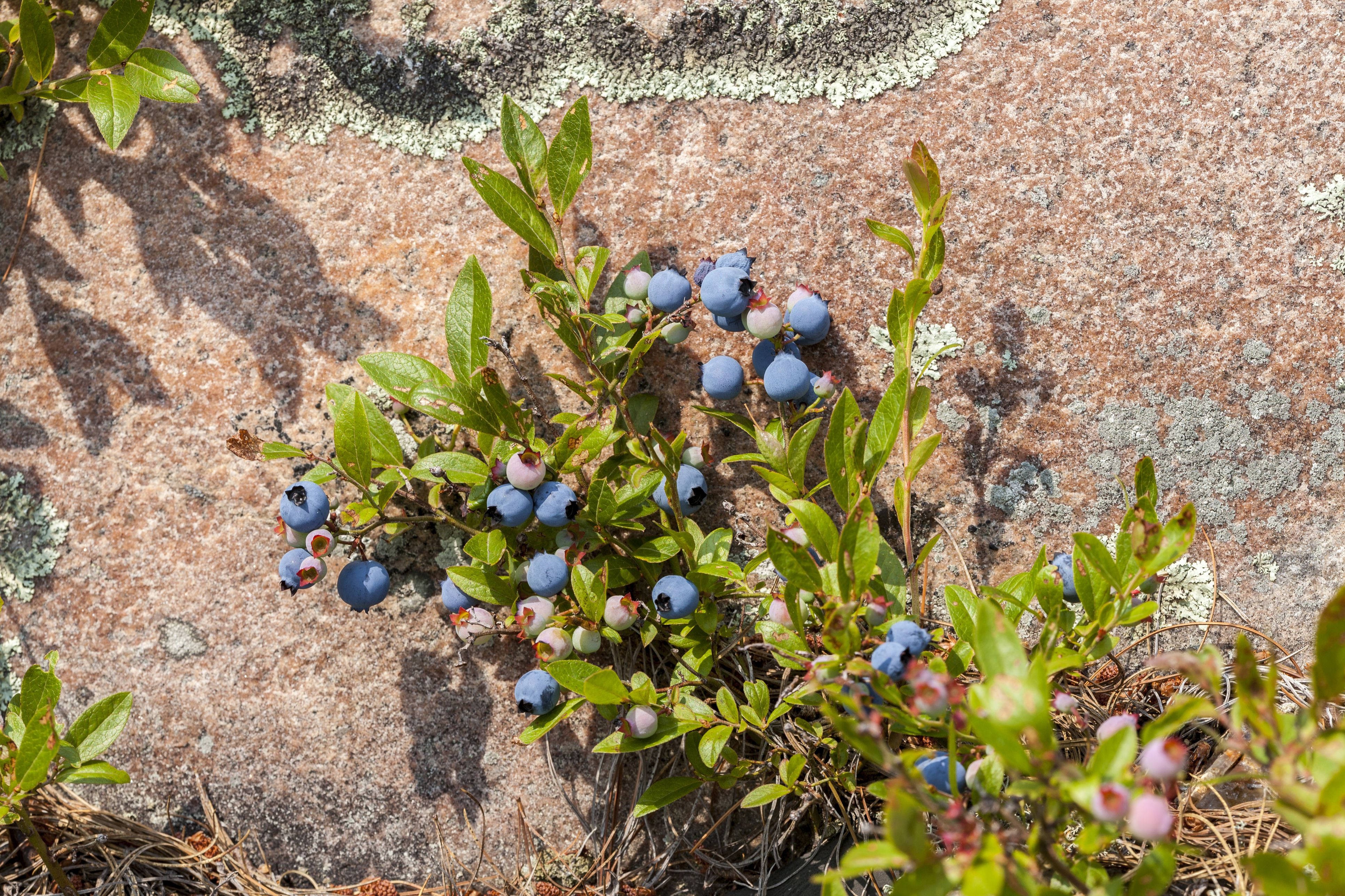 Wild blueberries,Vaccinium, and pink granite rock in Georgian Bay, French River Provincial Park, Ontario, Canada