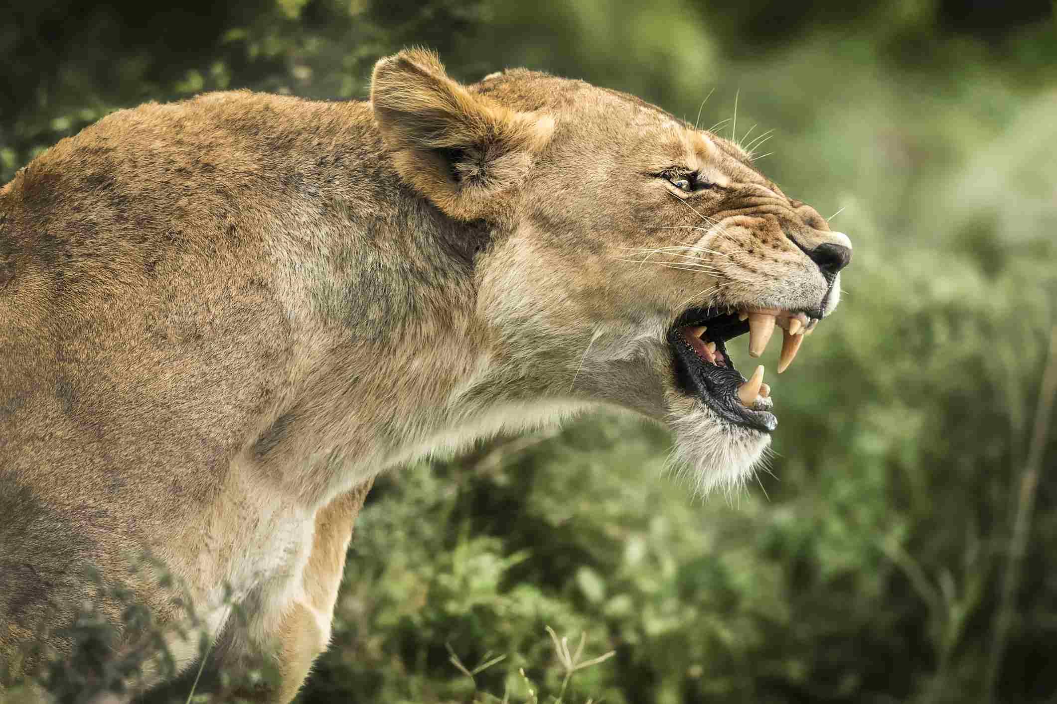 Lioness in Tsavo National Park, Kenya