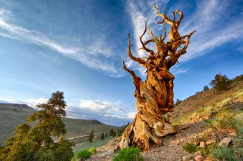 California S Bristlecone Pines Are Among Its Most Scenic Sights