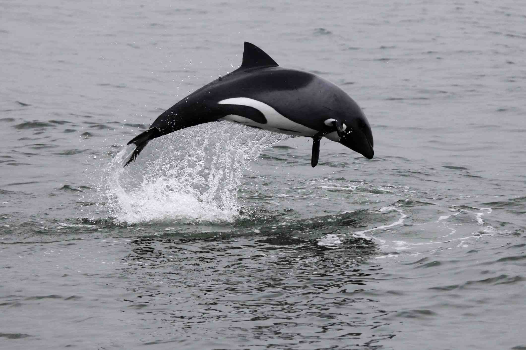 Africa's Best Whale & Dolphin-Watching Destinations Heaviside's Dolphin