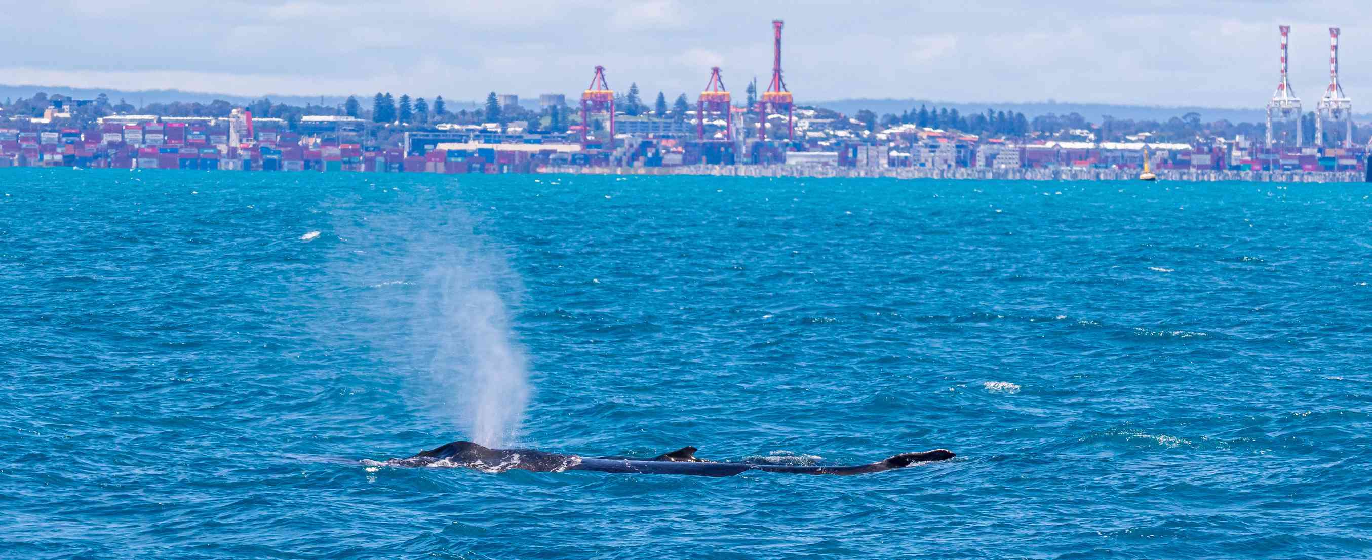Humpback whale and her calf in the Fremantle Harbour - Western Australia