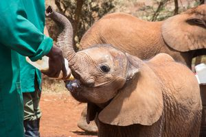 Elephant calf being fed by hand at the Sheldrick orphanage in Nairobi