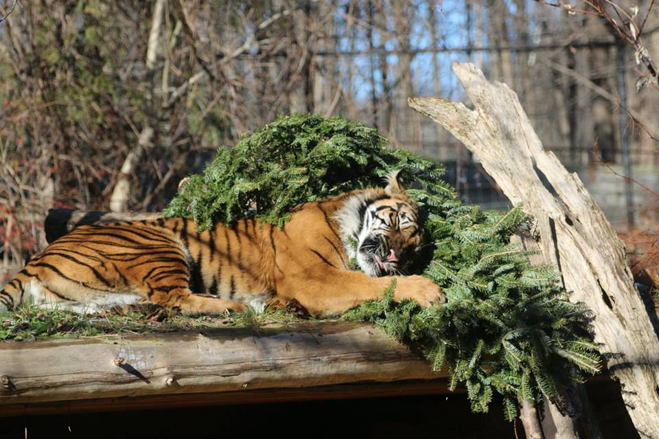 Tiger sleeping on a recycled Christmas tree at the Toronto Zoo