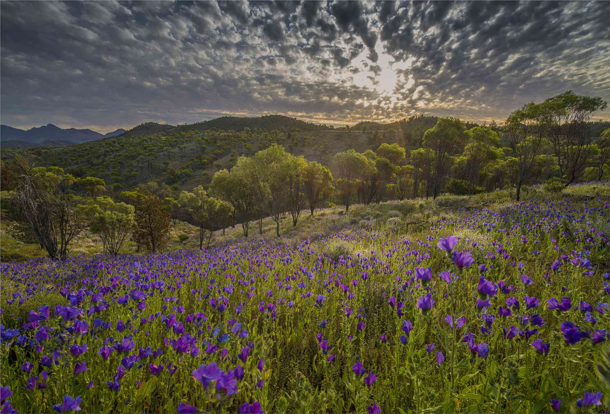 Wildflowers in Australia