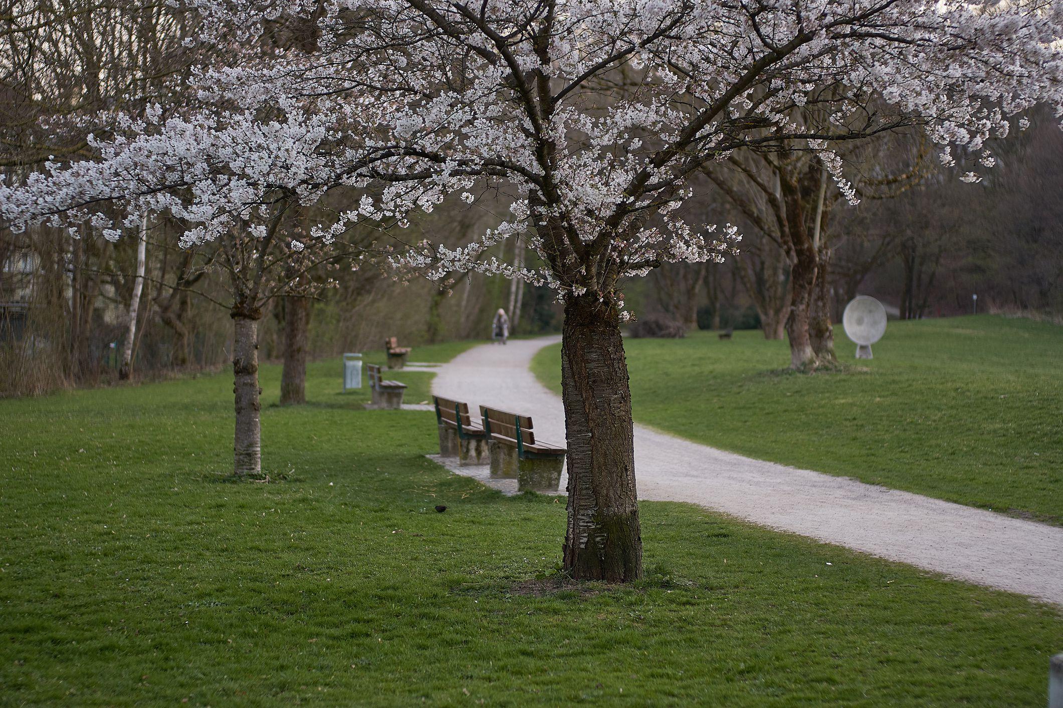 Munich's cherry blossom in the english garten