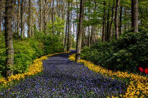 Tulips in Keukenhoff Gardens