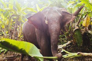 Elephant in Asia
