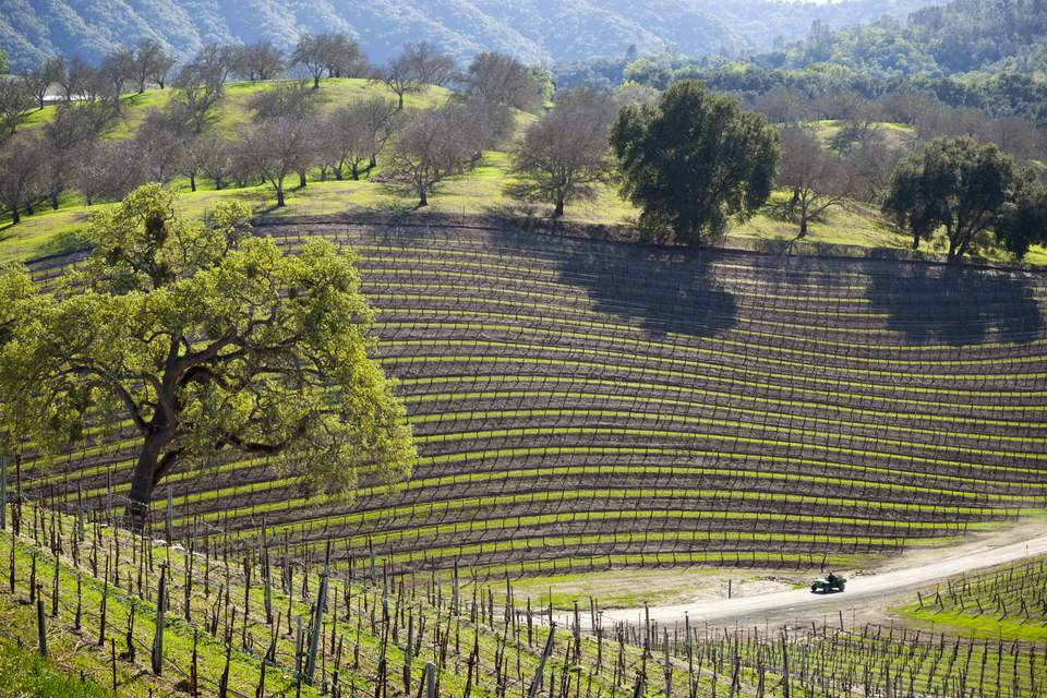 Vineyard Near Paso Robles