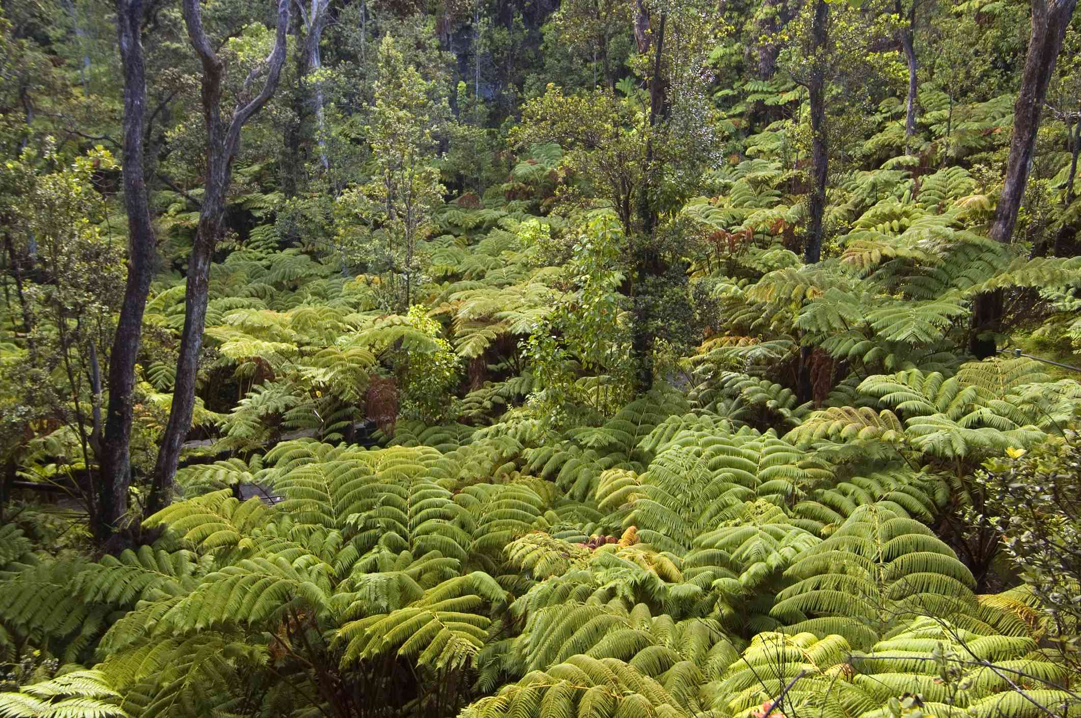 Ferns in the rainforest in Volcanoes National Park