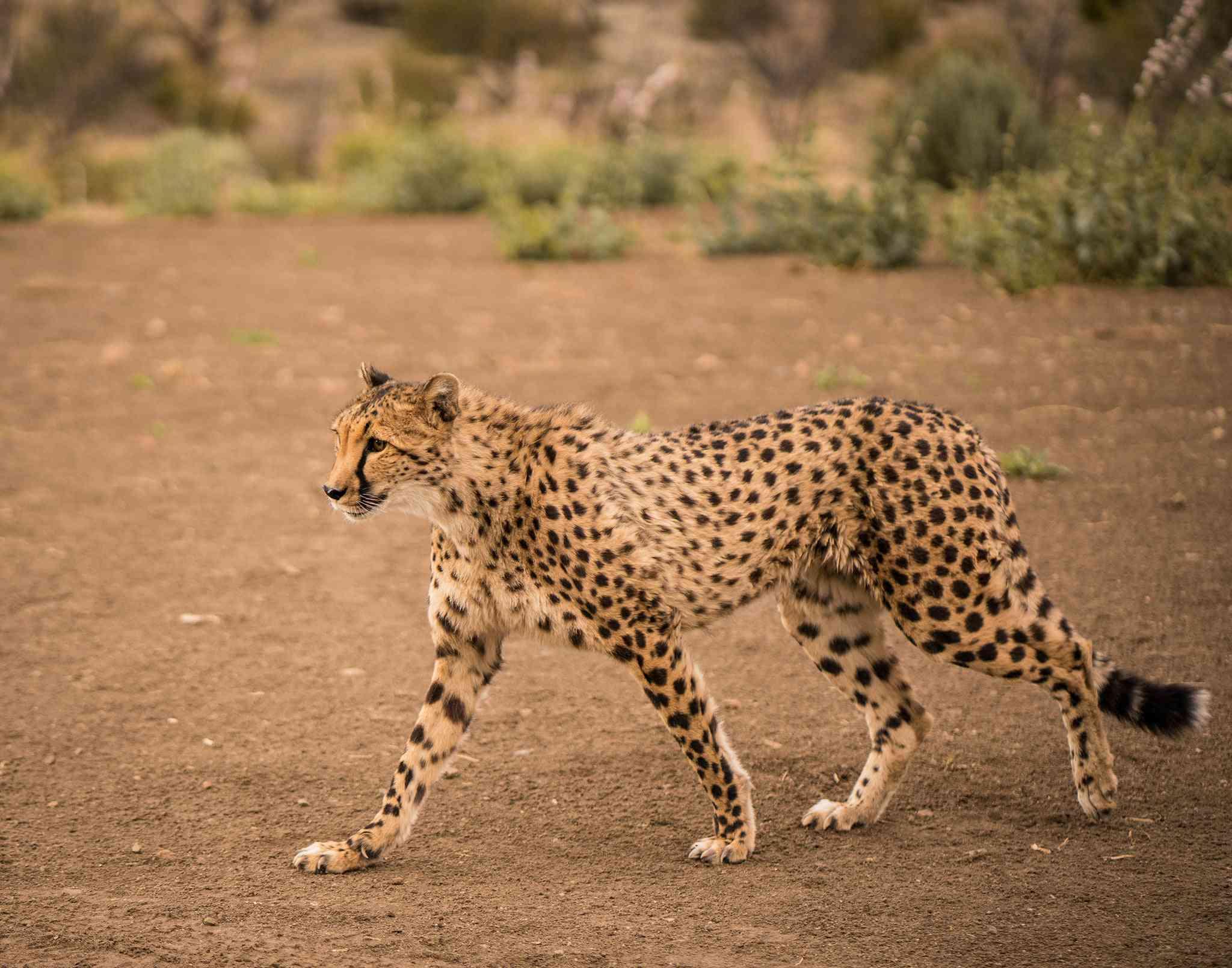 Image of a cheetah walking