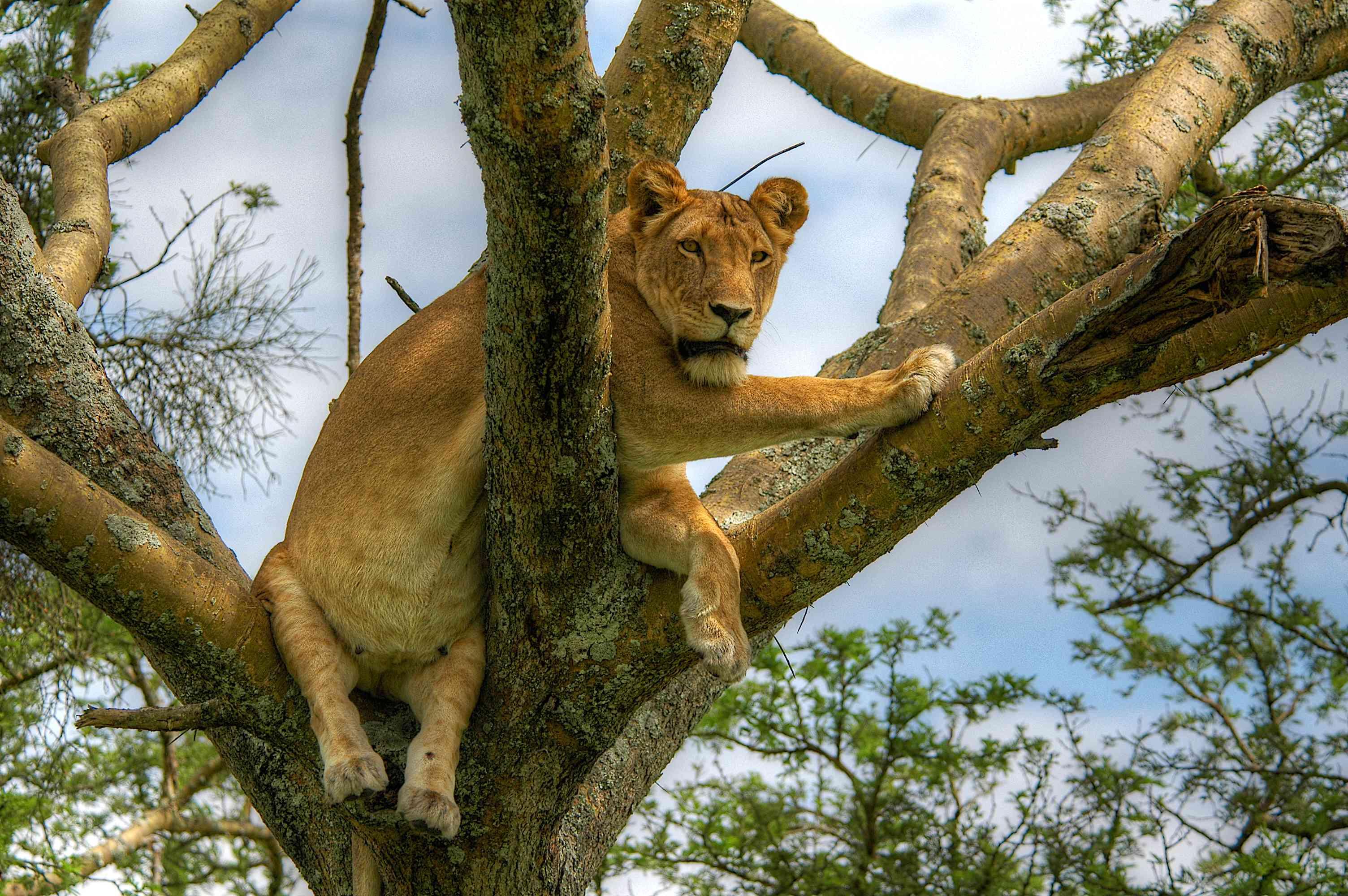 Tree-climbing lion in Queen Elizabeth National Park, Uganda