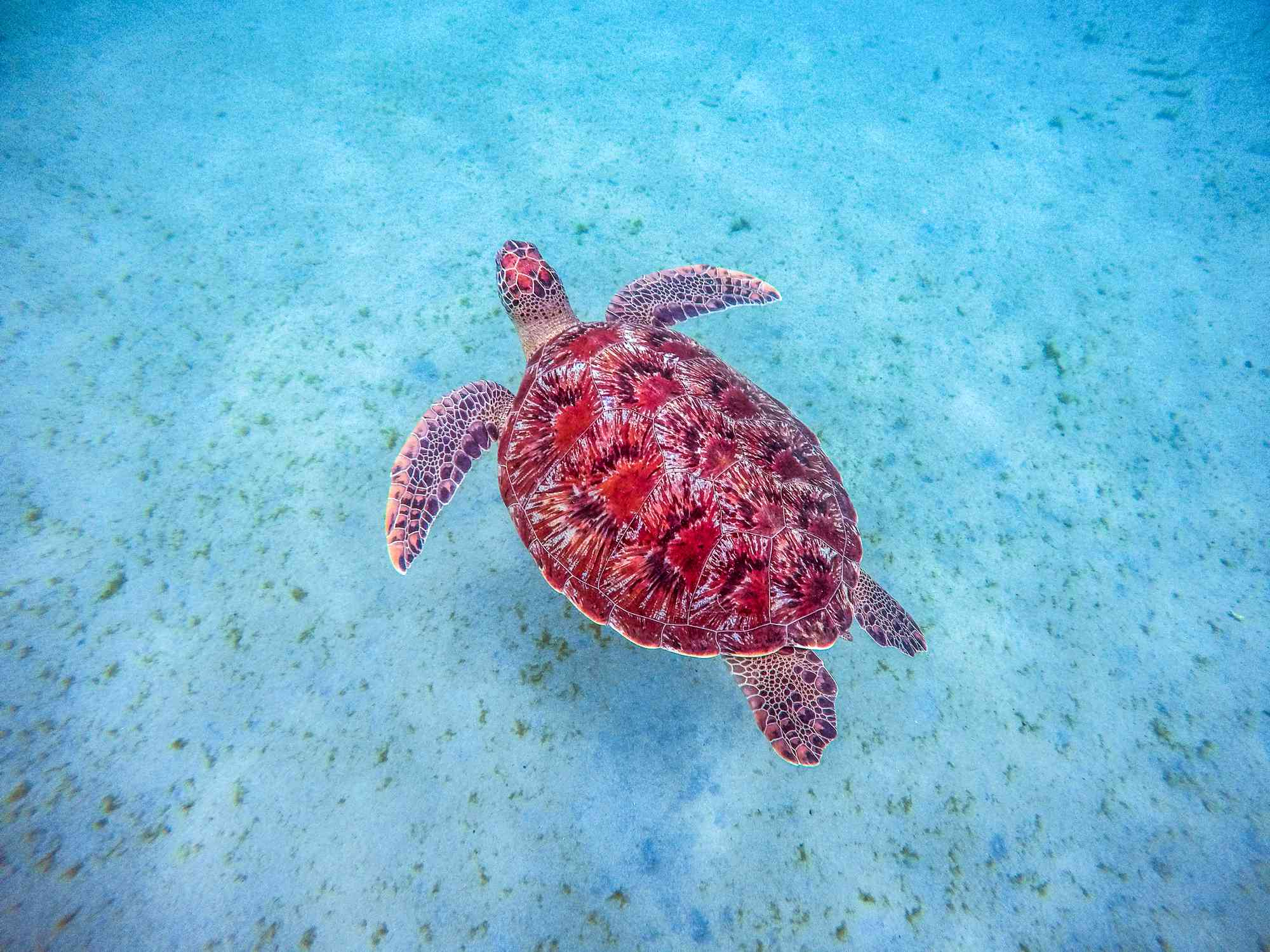red sea turtle in the water
