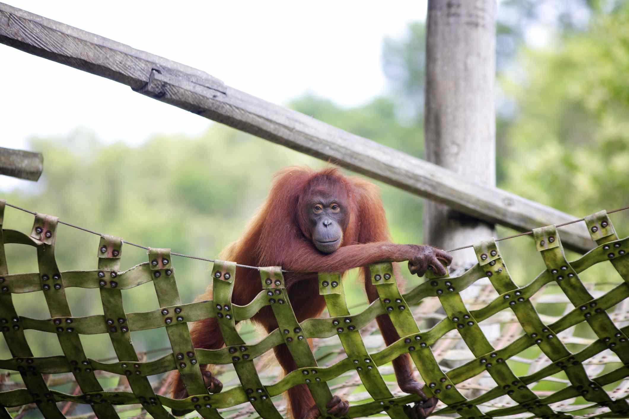 Orangután en peligro de extinción en el gimnasio de la jungla, Kota Kinabalu, Lok Kawi Wildlife Park