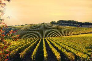 Tuscan vineyard at Sunset