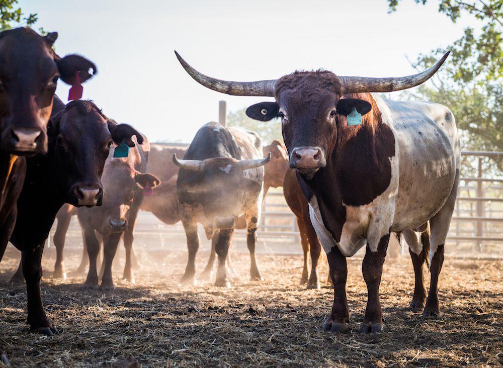 long horn cattle - Kansas