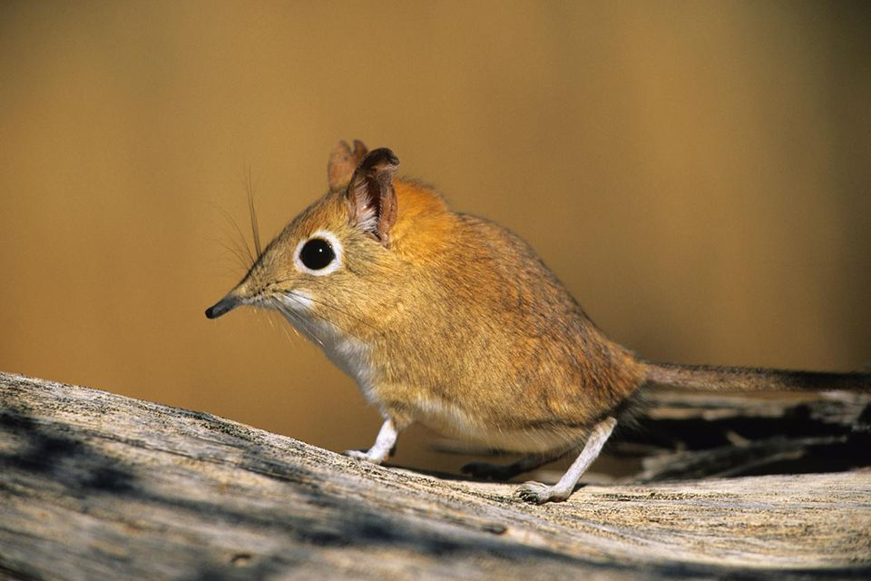 Image Handout Of A Macroscelides Micus Elephant Shrew Found In The Remote Deserts Southwestern