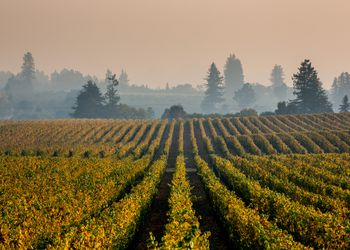 Rows of grapes in a california vineyard with smoke in the air from wildfires