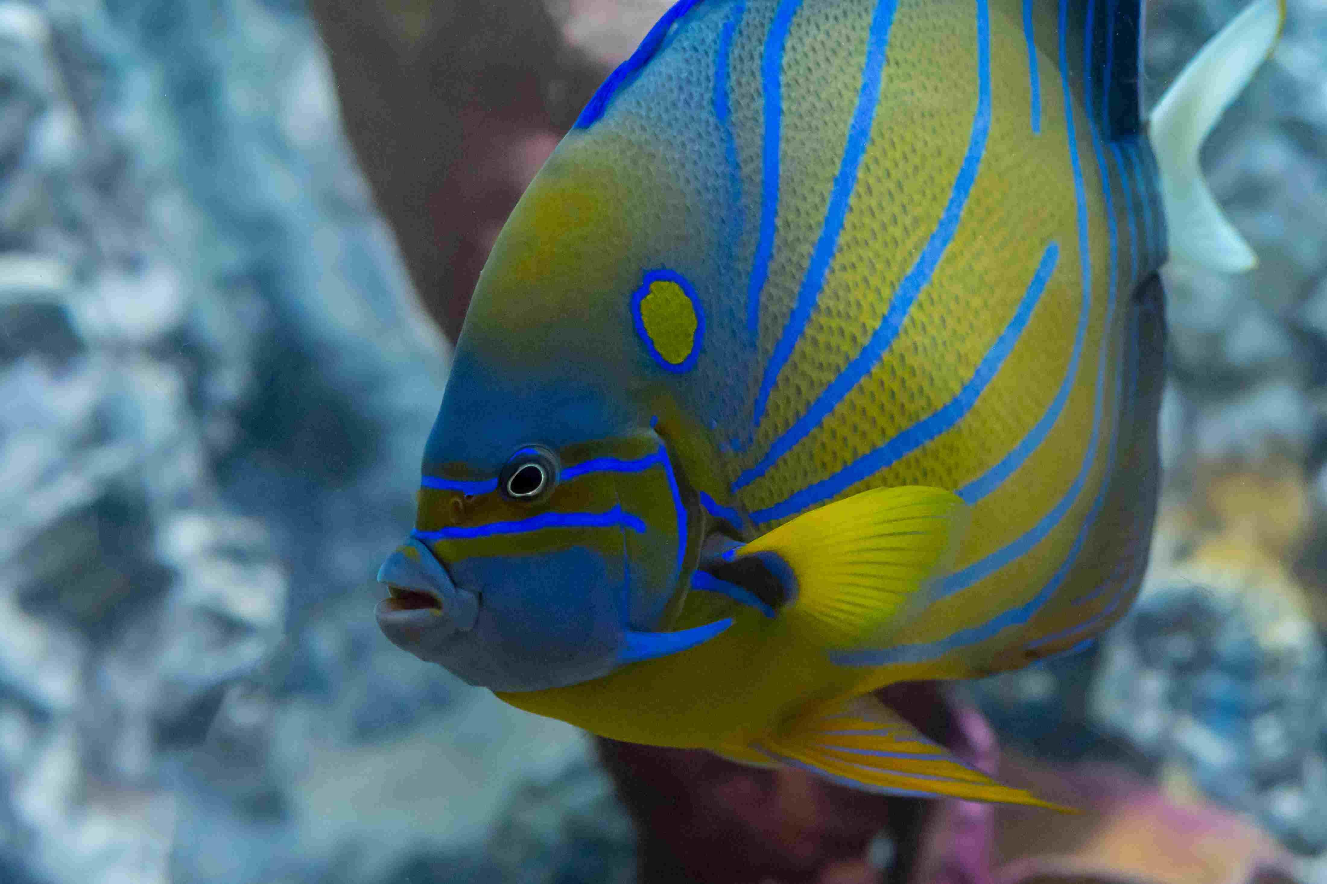 A tropical fish in an aquarium