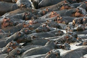 Hippos crowd into a mud hole at Katavi National Park