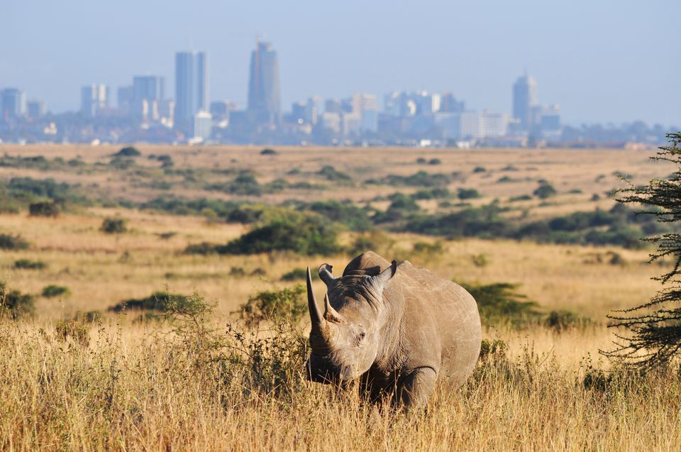 White rhino against an urban backdrop in Nairobi National Park, Kenya