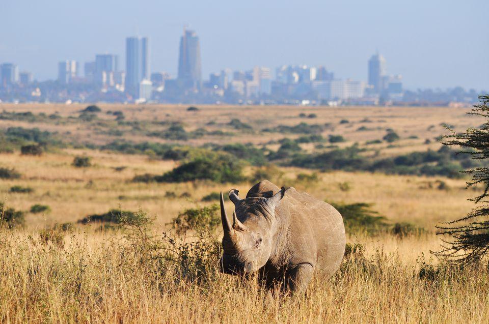 Rinoceronte blanco en un contexto urbano en el Parque Nacional de Nairobi, Kenia