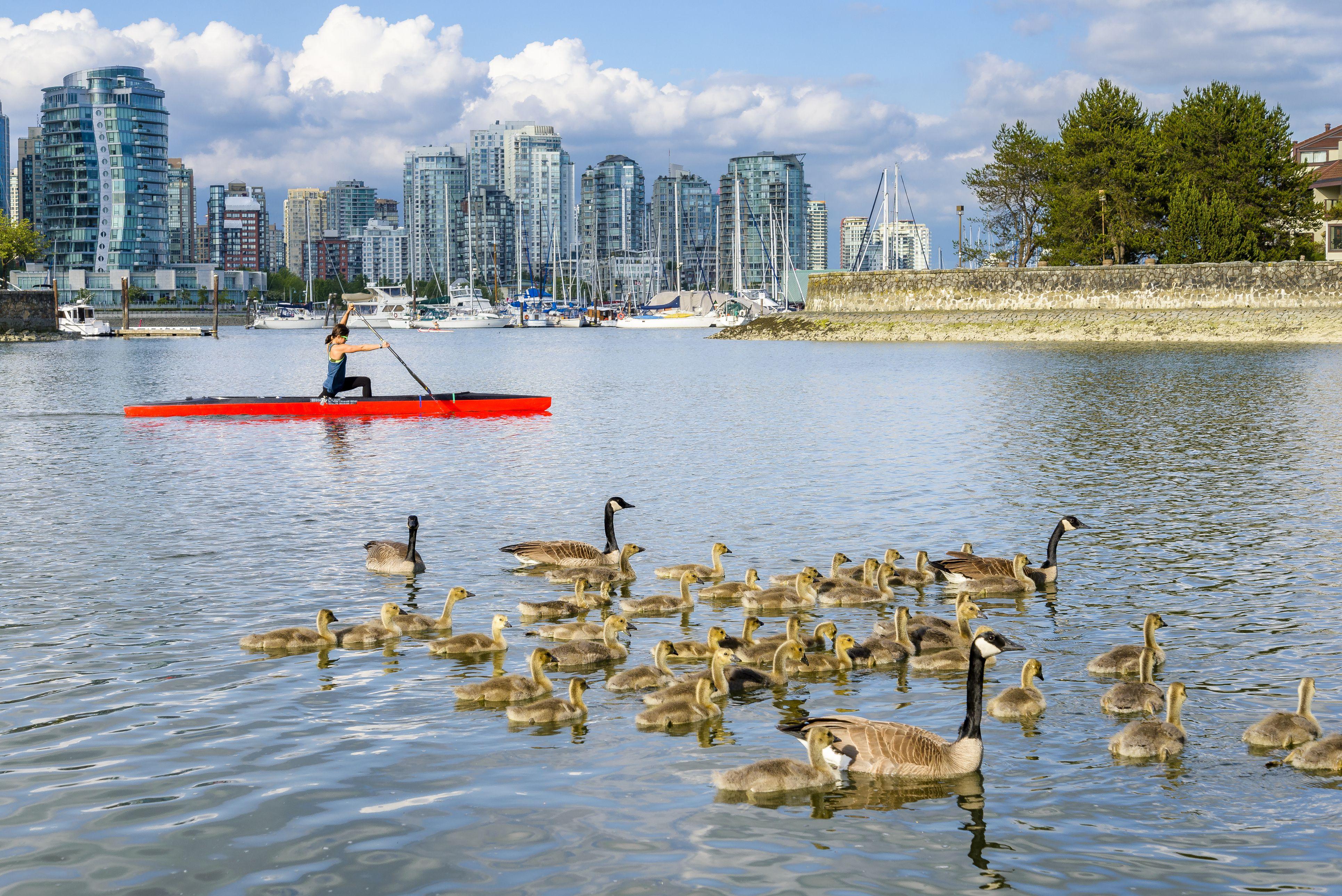 Canada Geese families at False Creek seawall, Vancouver, British Columbia, Canada