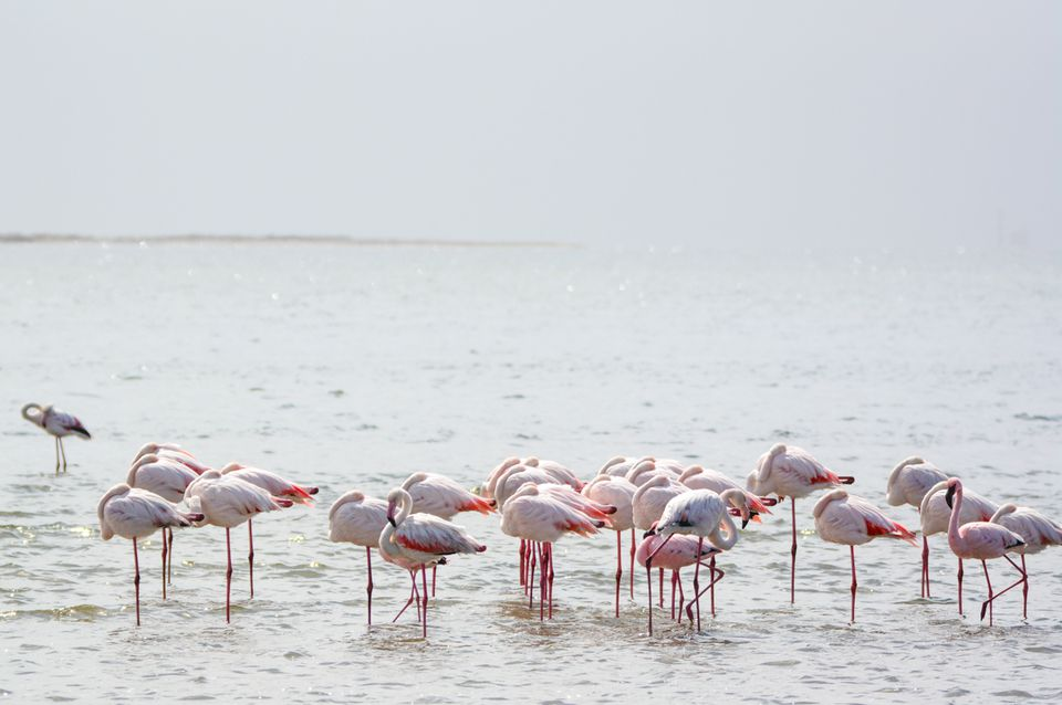 Why Do Flamingos Stand On One Leg Nature's Mysteries