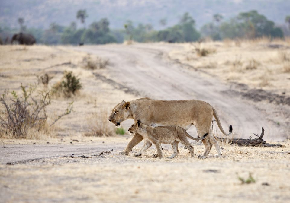 Lioness and cub crossing the road in Ruaha National Park, Tanzania