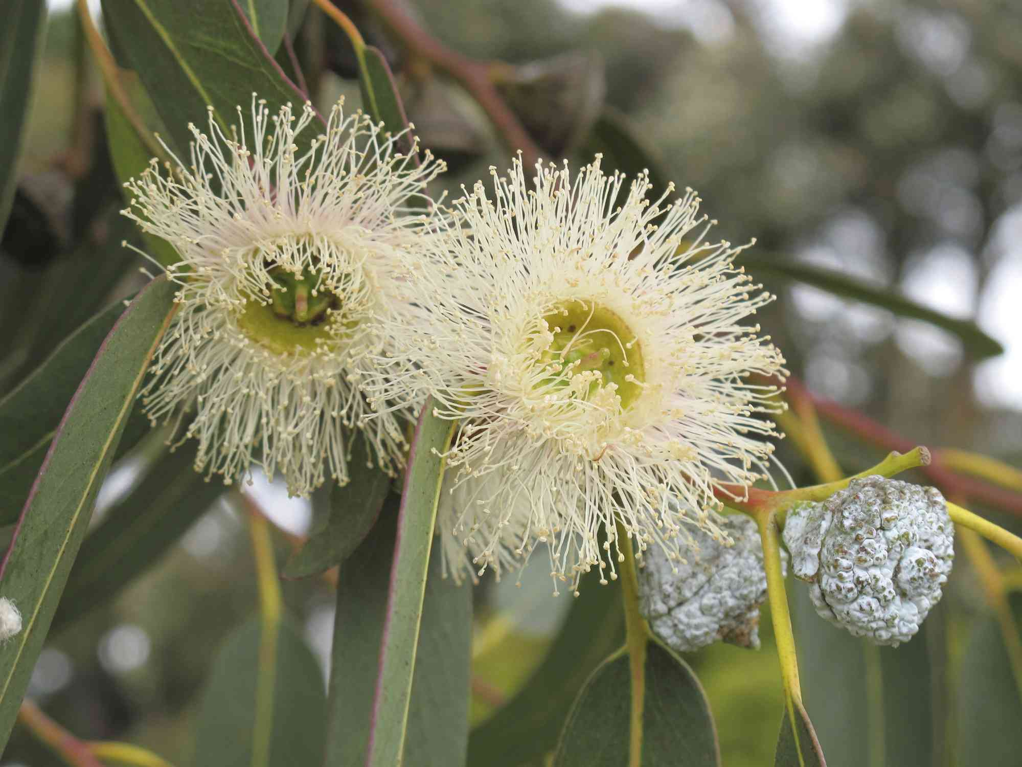 Australias National And State Flowers