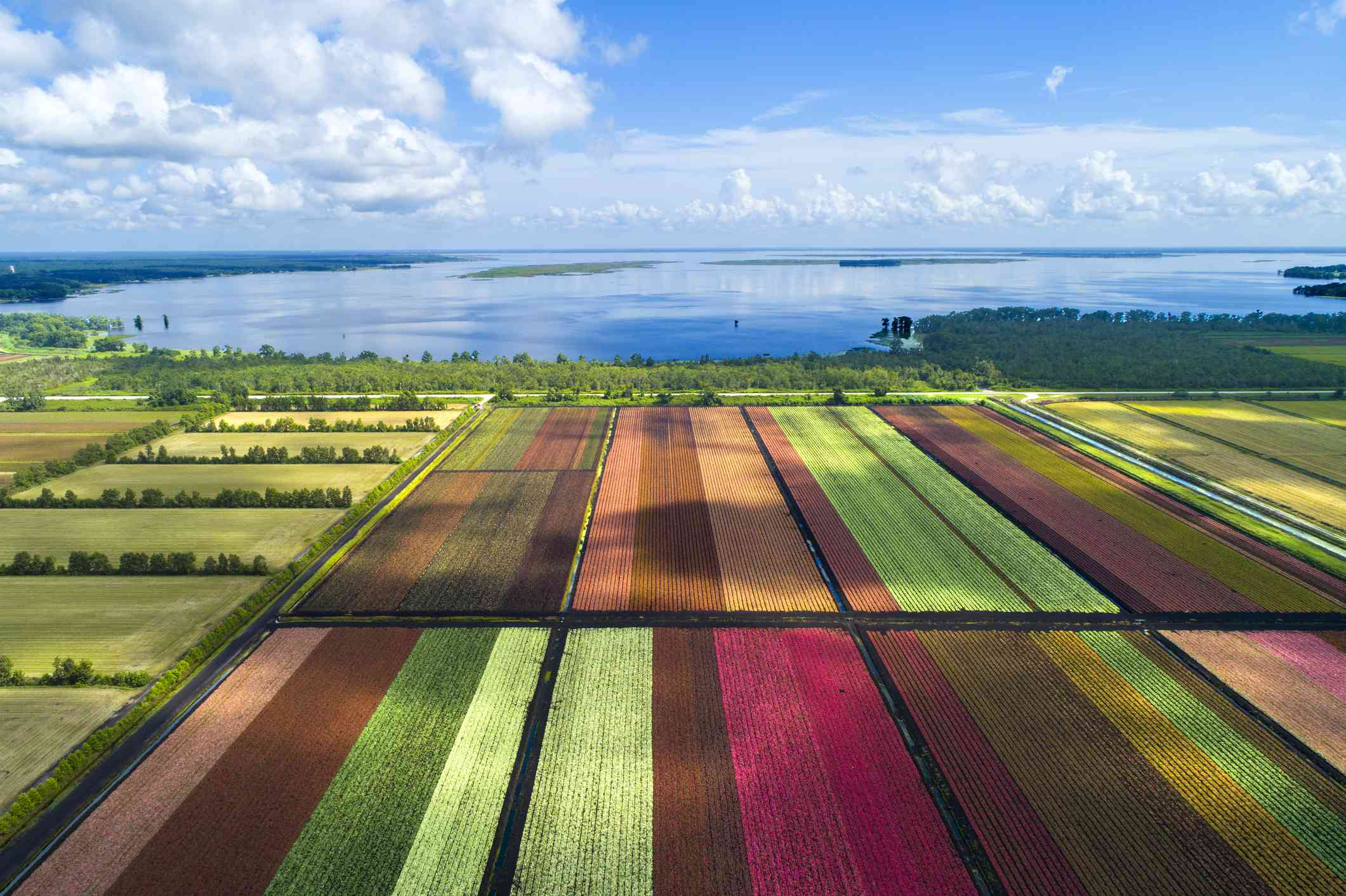 Aerial image of massive color-blocked flower fields with a large lake behind them in Lake Placid Florida