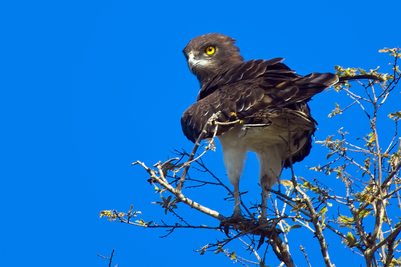 Black-chested snake-eagle (Circaetus pectoralis)