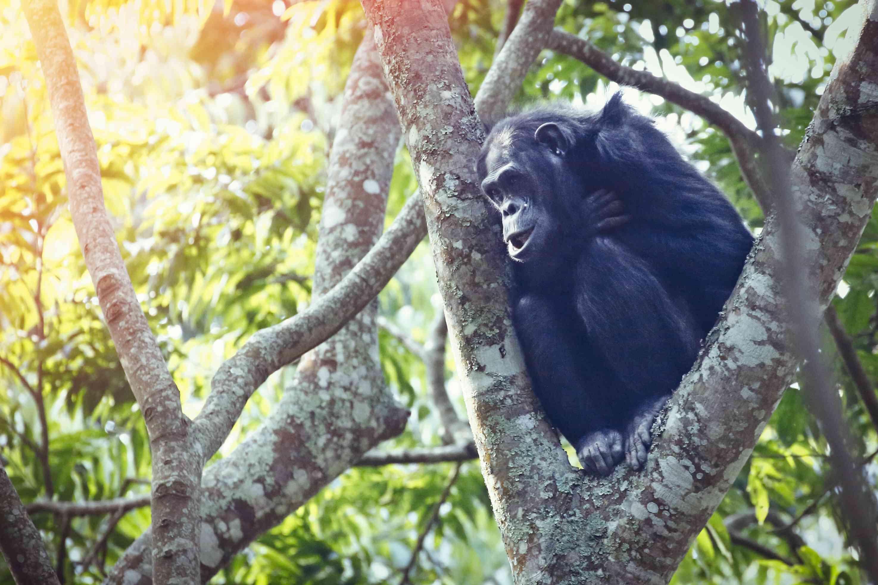 Chimpanzee in Nyungwe Forest National Park, Rwanda