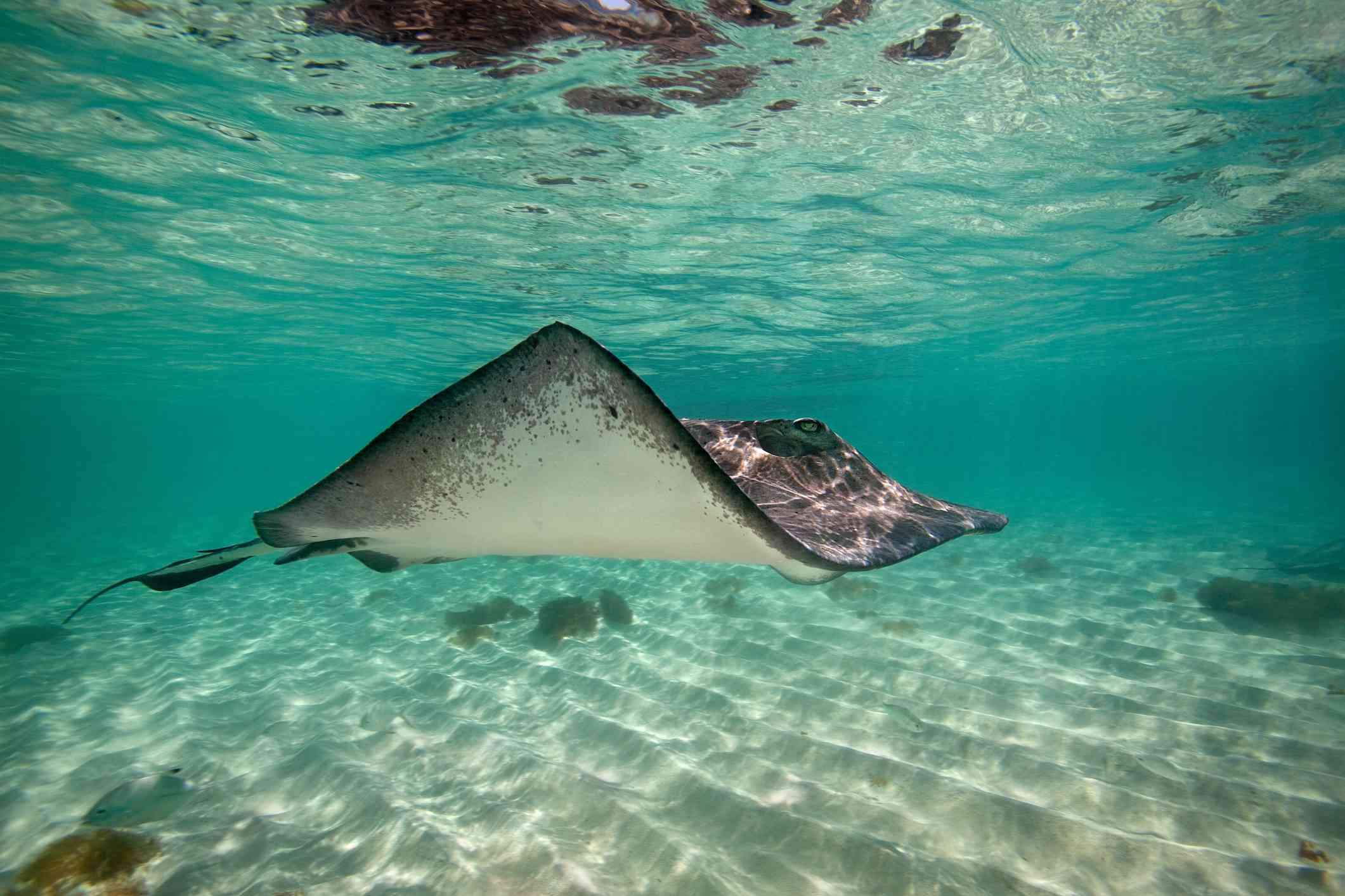 Stingray, Turks & Caicos