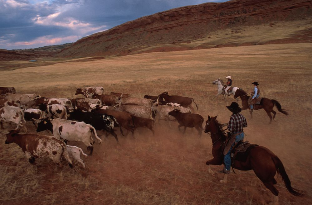cattle drive vacations - Wyoming