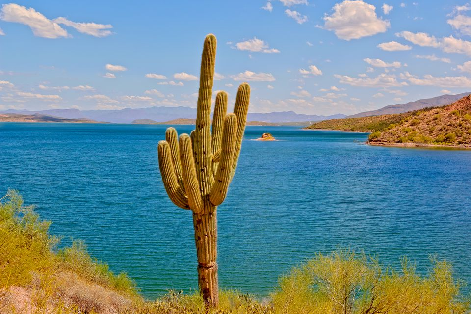 Saguaro cactus by Theodore Roosevelt Lake, Arizona, America, USA
